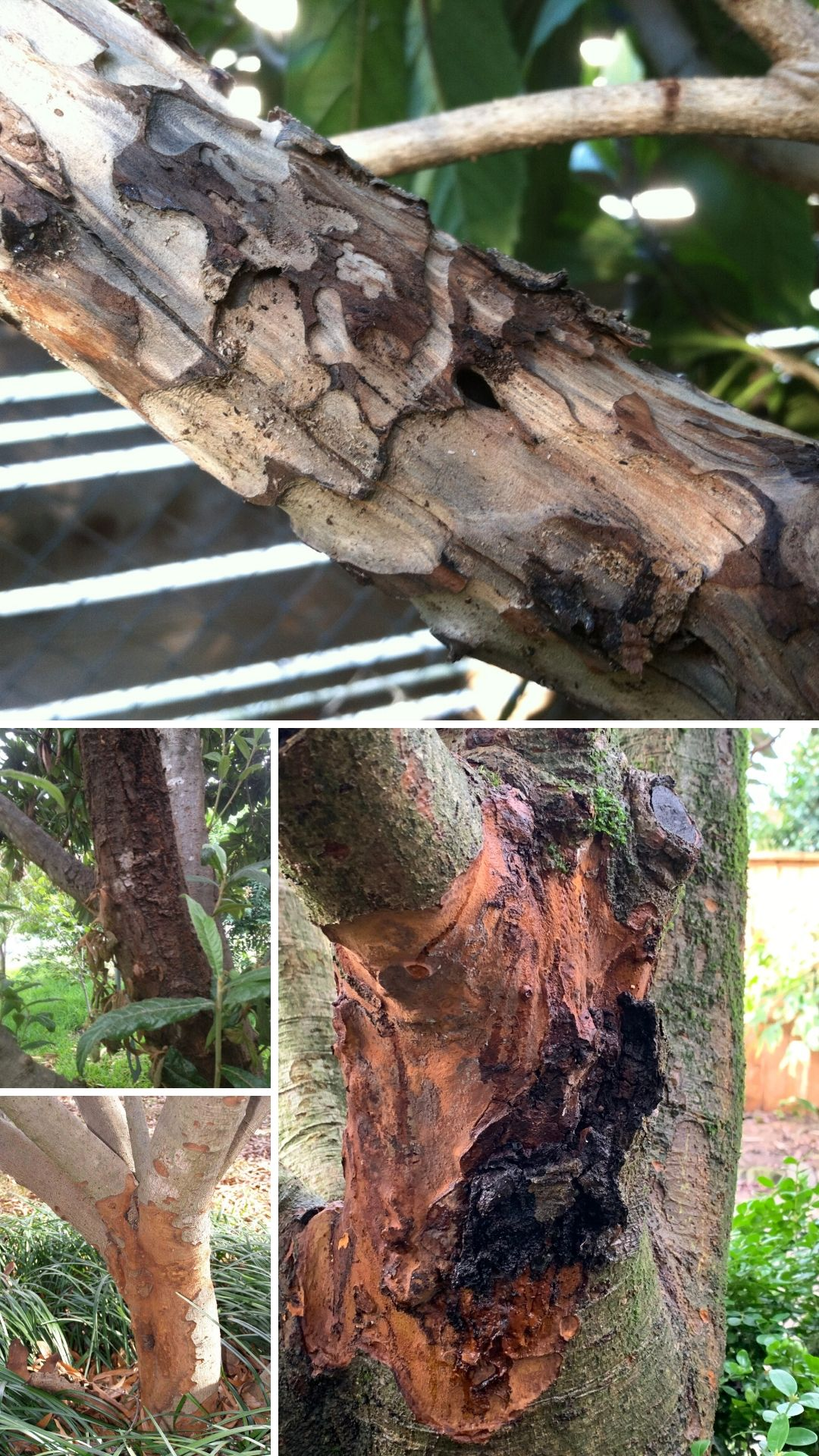 Loquat tree's pests and diseases