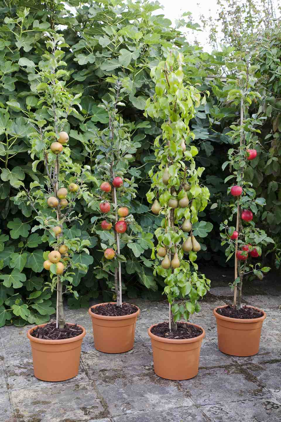 How To Grow Apple Trees In Containers And Pots Diy Morning