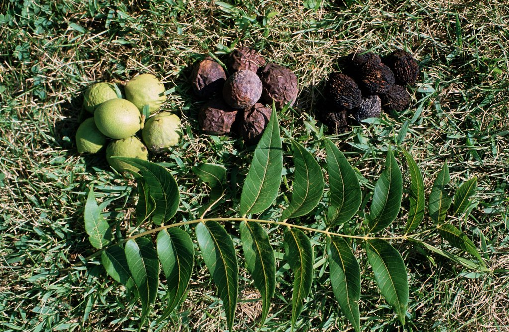 Selecting Black Walnuts for Planting