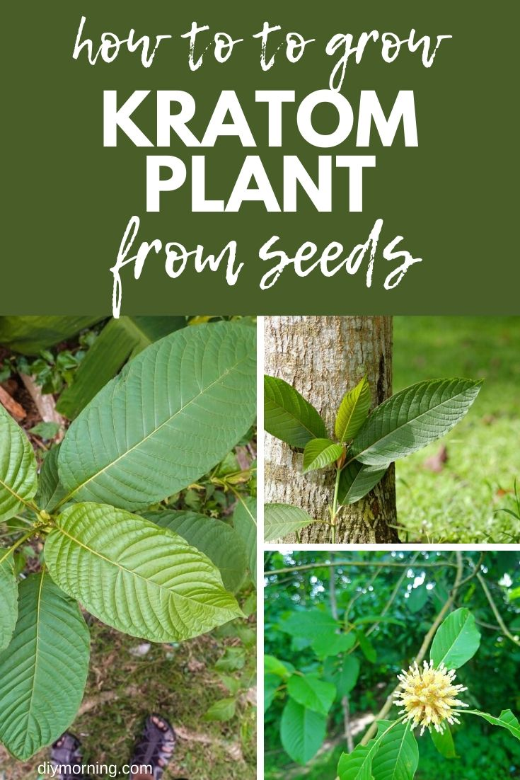 How to grow kratom plant: Ultimate Guide