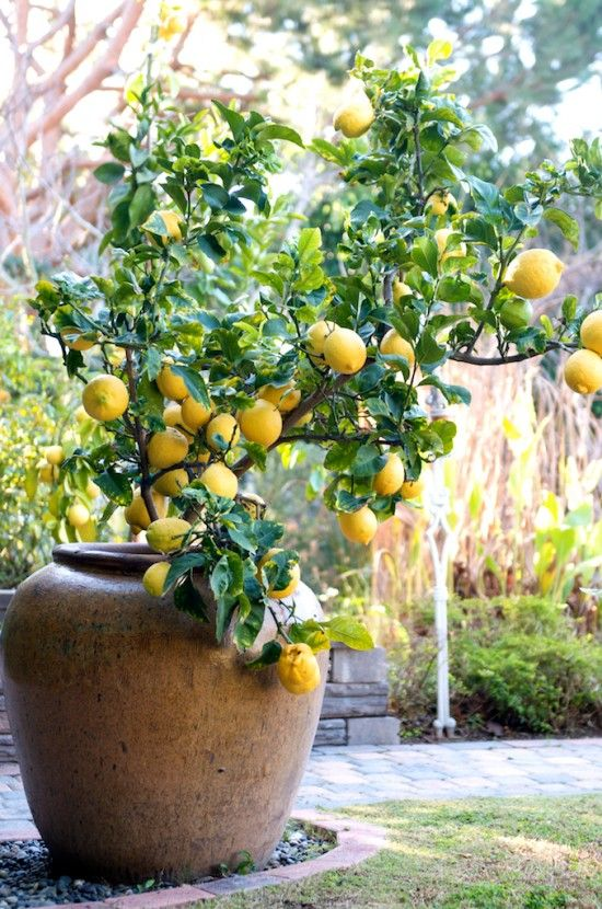 Choosing a Meyer Lemon Tree to Grow in a Container