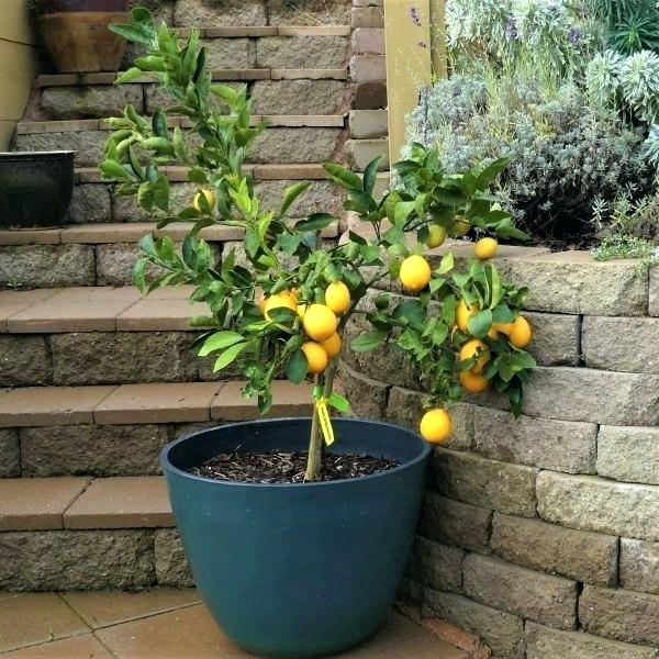 Choosing a Container for Your Meyer Lemon Tree
