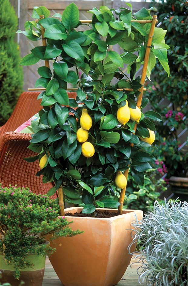 How to Plant a Meyer Lemon Tree in a Container